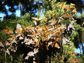 Butterfly 102