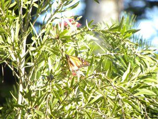Butterfly 004