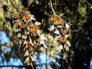 Butterfly 103